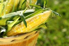 Milho em uma cesta da maçã Fotos de Stock Royalty Free