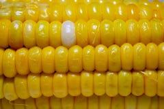 Milho fervido colorido no fim acima no fundo da natureza Imagens de Stock