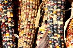 Milho indiano, Flint Corn, Zea maio var indurata Foto de Stock Royalty Free