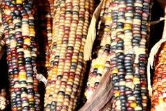 Milho indiano, Flint Corn, Zea maio var indurata Fotos de Stock Royalty Free