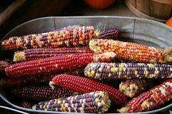 Milho indiano no tempo de colheita Fotografia de Stock