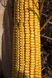 Milho maduro no fim de The Field acima Fotos de Stock Royalty Free