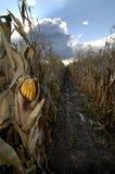 Milho no campo de milho Imagens de Stock Royalty Free