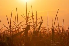 Milho no nascer do sol Imagens de Stock