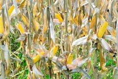 Milho orgânico fotografia de stock
