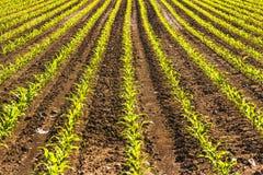 Milho organicamente cultivado em um campo imagem de stock royalty free