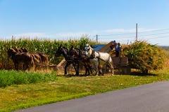 Milho que colhe pelos fazendeiros de Amish imagens de stock