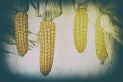Milho secado de suspensão no estilo do vintage com escape claro Imagens de Stock