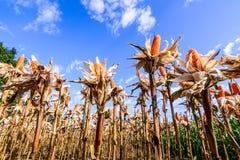 Milho secado em um campo de milho fotos de stock