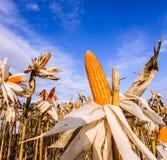 Milho secado em um campo de milho imagens de stock