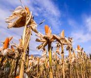 Milho secado em um campo de milho fotografia de stock royalty free