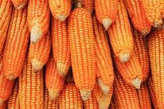 Milho seco Imagem de Stock Royalty Free