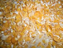 Milho seco consumido por brocas foto de stock royalty free