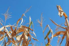 Milho seco no campo 2 Foto de Stock