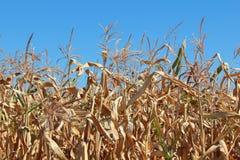 Milho seco no campo 1 Imagens de Stock Royalty Free