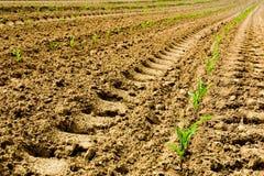 Milho Sprouting Imagem de Stock