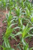 Milho - um jardim verde pequeno da planta de milho pequena do bebê Imagens de Stock Royalty Free
