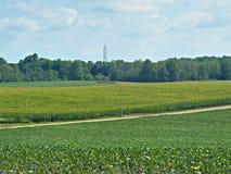 Milho uma colheita do verão Foto de Stock
