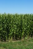 Milho verde novo no campo Campo de milho na primavera fotografia de stock