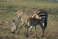 Milia gemeine Zebras Equus Burchells Punda stockfotografie