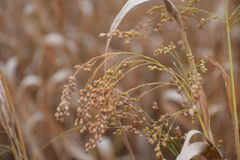 Miliaceum просо Стоковая Фотография RF