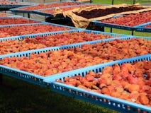 Milieu de l'été d'environ trois jours d'un jour ensoleillé après la prune salée environ deux mois d'adobe Images libres de droits