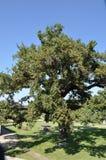 Milieu groene eiken boom in aard voor de planeet stock fotografie