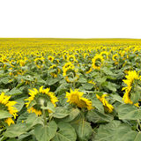 Gebied van bloeiende gele zonnebloemen aan horizon Royalty-vrije Stock Fotografie