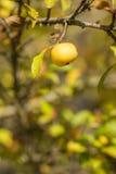 Milieux automnaux avec la pomme jaune Photographie stock libre de droits