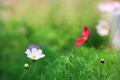 Milieux de cosmos de jardin pour la station thermale Photo libre de droits