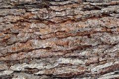 Milieux de texture de surfaces d'écorce de pin, texture 6 Photo libre de droits