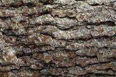 Milieux de texture de surfaces d'écorce de pin, texture 5 Photos libres de droits