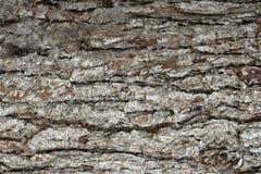 Milieux de texture de surfaces d'écorce de pin, texture 4 Images libres de droits