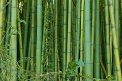 Milieux en bambou verts de nature Photographie stock libre de droits