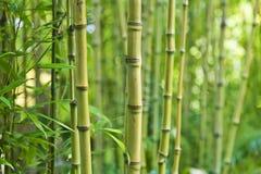 Milieux en bambou verts de nature Photographie stock