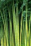 Milieux en bambou verts de nature Image stock