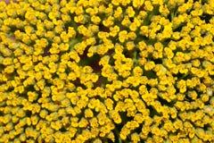 Milieux jaunes de fleur Image stock