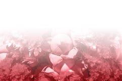 Milieux roses frais de modèle de fleurs Images stock