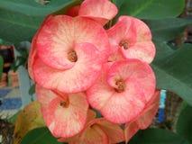 Milii de florescência Tailândia do eufórbio Imagens de Stock Royalty Free