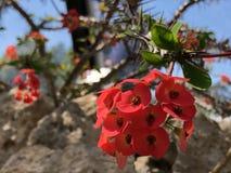 Milii do eufórbio, a coroa de espinhos, de planta de Cristo, de espinho de Cristo, ou de Corona de Cristo - jardim botânico Zuriq fotografia de stock royalty free