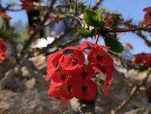 Milii do eufórbio, a coroa de espinhos, de planta de Cristo, de espinho de Cristo, ou de Corona de Cristo - jardim botânico Zuriq imagem de stock
