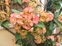 Milii do eufórbio na árvore Fotografia de Stock