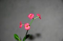 milii euphorbia Стоковое Фото
