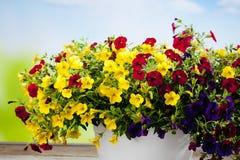 Milion dzwonów, balkonowa roślina Zdjęcia Stock