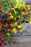 Milion dzwonów, balkonowa roślina Obraz Royalty Free