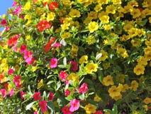Milion Dzwonów kwiatów w lecie Zdjęcia Stock