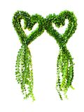 Milion serc mieścą roślina wiszącego kierowego kształt na białym tle Fotografia Royalty Free