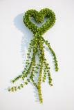 Milione piante di dave del cuore Fotografie Stock Libere da Diritti
