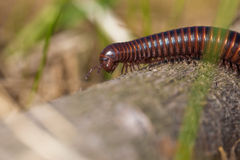 Milipede in Grass Stock Images