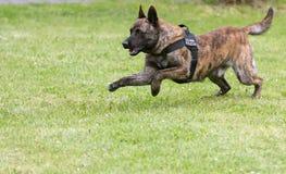 Militärpolizeihund Stockbild